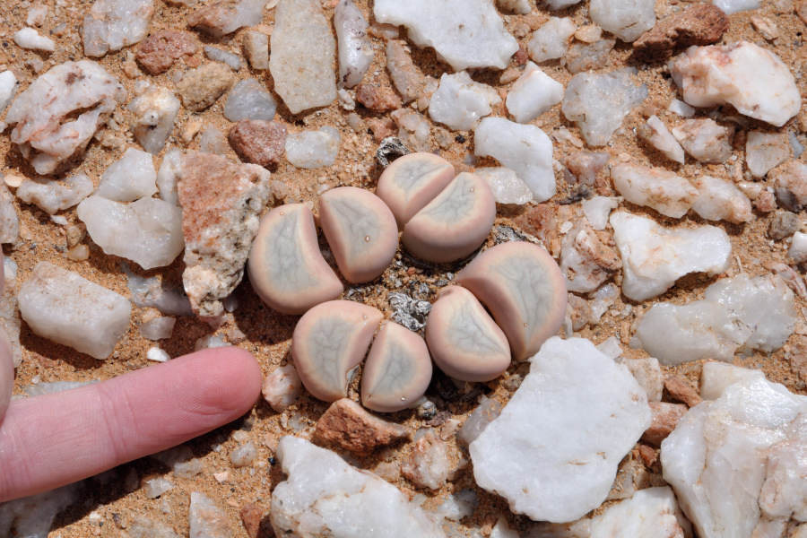 succulent tour to south africa looking for lithops and