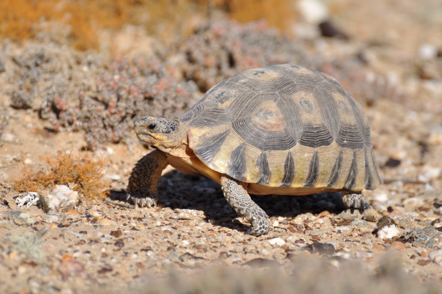 Pictures of Namaqualand wildlife from Ritchersveld desert.