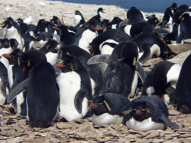 rockhopper penguin colony on sea lion island  falkland