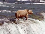 Brown bear in Katmai National Park, Alaska