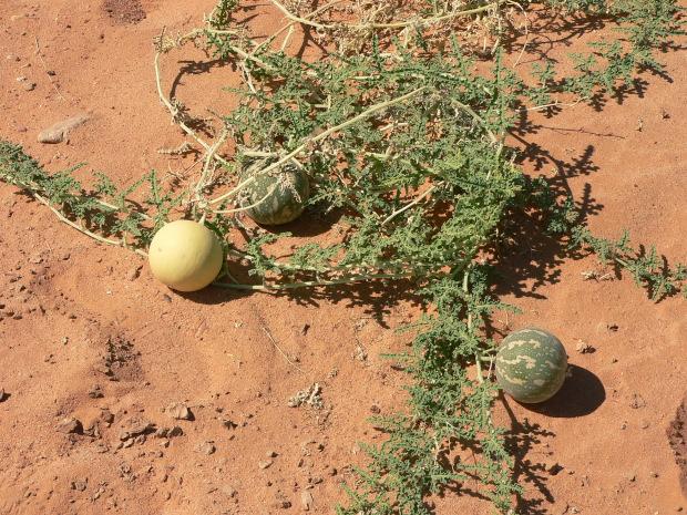 sahara desert plant life wwwimgkidcom the image kid